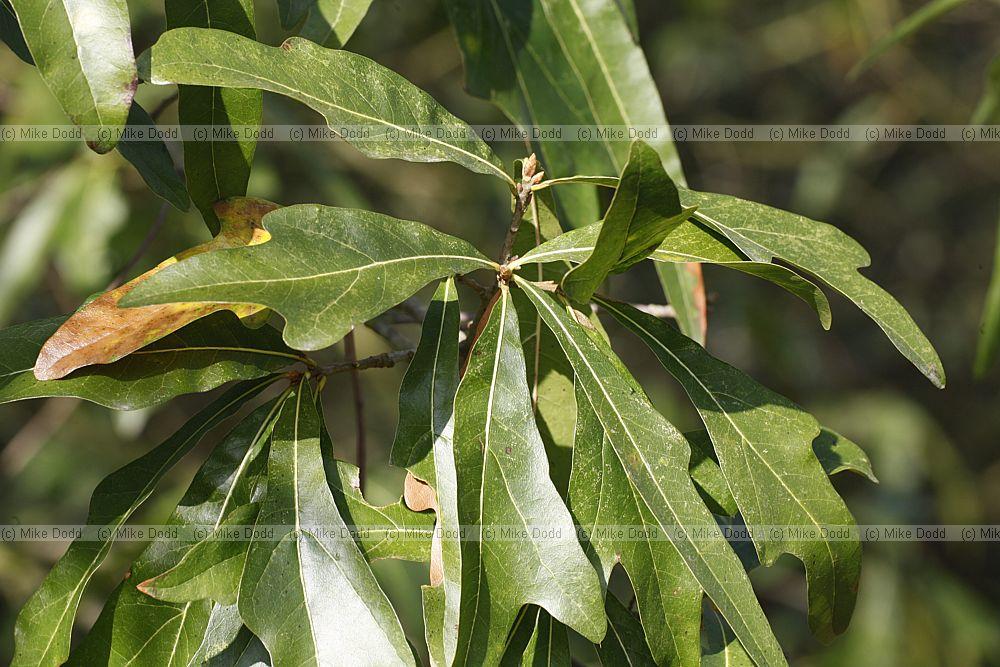 Quercus nigra Water OakQuercus Nigra